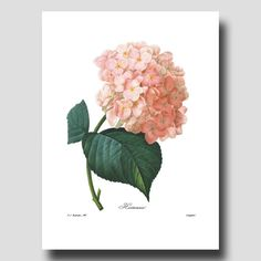 French Country Cottage (Hydrangea Art Botanical Print By Pierre-Joseph Redoute) Soft Pink Wall Decor No. 56