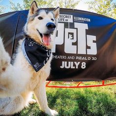 @loki the wolfdog is getting glammed up for tonight's #TheSecretLifeOfPets x #GoPro sneak peek at @mountaingamesvail. Join us & the @secretlifeofpets (bring your pups!) at Mountain Plaza near the climbing wall TONIGHT at 8:30pm MT. 📷: @mattjkomo #Instagood #DogsOfInstagram #Wolfdog #VailLife #ILoveLoki #amazing #adventure #beautiful