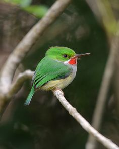 Puerto Rican Tody (Todus mexicanus) is endemic to Puerto Rico island. | Family: Todidae in the order Coraciiformes, which also includes the kingfishers, bee-eaters and rollers.
