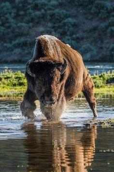 Nature Animals, Animals And Pets, Cute Animals, Wildlife Photography, Animal Photography, Beautiful Creatures, Animals Beautiful, Buffalo Animal, Photo Animaliere