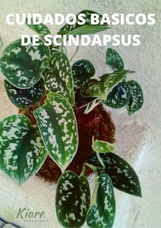 Los secretos del Scindapsus pictus Plant Leaves, Relative Humidity, Plants