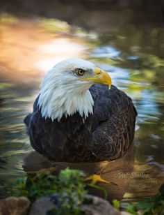 Bald Eagle fishing with autumn reflections.