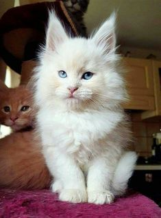 7 Fun Facts About Maine Coon Cats. 🐱 - Cute and Adorable Maine Coon Kitty - Pretty Cats, Beautiful Cats, Animals Beautiful, Cute Kittens, Cats And Kittens, Kittens Meowing, Siamese Cats, Chat Male, Cute Baby Animals