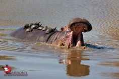 Hippo and Terrapins, Kruger NP. Wildlife Safari, Kruger National Park, Small Groups, Africa, Animals, Animales, Animaux, Animal, Animais