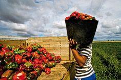 Las exportaciones regionales de pimiento crecen en 2013 un 41% hasta los 100 millones — MurciaEconomía.com.