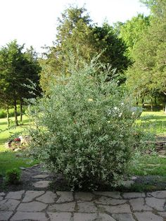 If you're looking for a fast growing ornamental shrub with the potential to become a great privacy screen think willow,