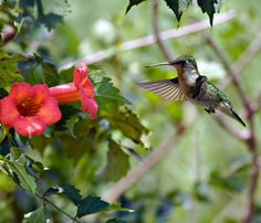 Hummingbird Vine (Trumpet Vine) will attract hummingbirds.