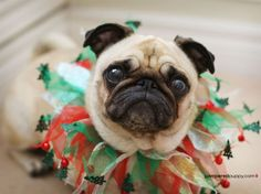 ...this pug who values seasonal accessories; a tasty-looking pug, a pug puppy who hears sleigh bells everywhere she goes, a gift-wrapped pug, a sad Rudolph pug, two pugs dressed as Santa and a pug dressed as a Christmas tree.