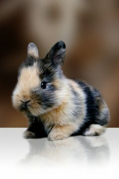 LOVE THIS TRICOLOR BUNNY!