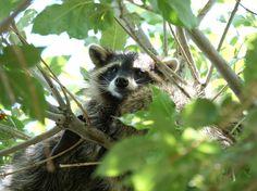 Northern raccoon in a Parker, Colorado neighborhood. August, 2015