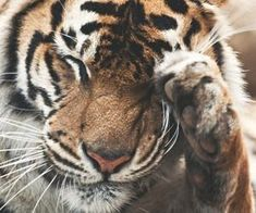 Tiger in the Wild Wild Tiger, Tumblr, Animals, Animales, Animaux, Tumbler, Animal, Animais