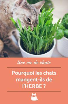 Votre chat d'habitude si carnivore se met à manger des plantes et des herbes et vous ne comprenez pas pourquoi ?  #ChatQuiMange #ChatDrole #ChatMignon #ChatMangePlante #PourquoiLesChatsMangentDeLHerbe