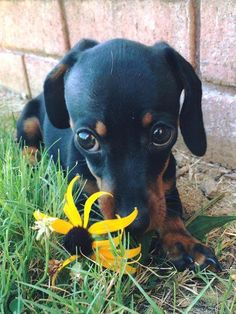 21 Reasons You Should Own A #dachshund - no reasons needed, just look at this baby!
