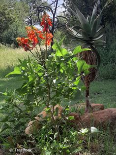 10 trees for small gardens in South Africa Garden Ideas South Africa, Small Garden Images, Dragon Tree, 10 Tree, Sandy Soil, Water Wise, Small Gardens, Trees To Plant, Green Leaves