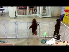Dancing Poodle puppy has got the moves! Too cute!!!!!