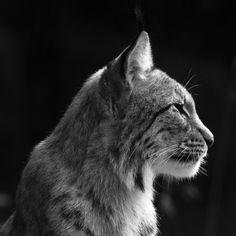 Lynx To buy this picture please visit www.3aART.de Zum Erwerb dieses Bildes besuchen sie bitte unsere Hompage www.3aART.de