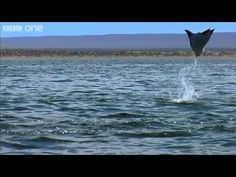 David Tennant narrates a herd of flying Devil Rays.