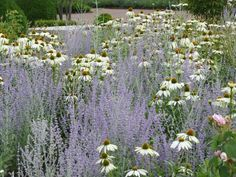 Planting by Swedish garden designer Ulf Nordfjell with russian sage & white echi. Planting by Swed Prairie Garden, Meadow Garden, Garden Cottage, Dream Garden, Garden Grass, Plastic Garden Edging, Lawn Edging, Garden Borders, Garden Paths