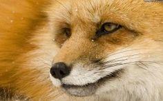 Fox HD Wallpaper Cool