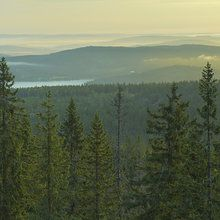 Wall mural - Spruce Tops in Skuleskogen National Park, Sweden