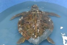 All About Sea Turtles Virginia Beach, Virginia  #Kids #Events
