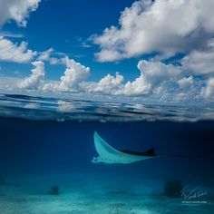 """Maldivian Dream. Flight of Mantaray - © 2015 Vitaliy Sokol aka Willyam Bradberry <a href=""""http://www.shutterstock.com/pic.mhtml?id=285483461"""">Half water with beautiful clouds. Underwater part where mantaray floating over sandy bottom.</a>  Thank you for watching"""