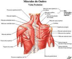 Resumo Anatomia Locomotor Músculos - resumo anatomia sistema locomotor (músculos)