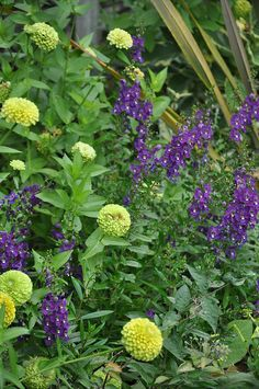 Chartreuse zinnias and purple angelonia put on a long lasting show at Untermyer Gardens.  Plant a mix of these annuals to recreate this in your own garden.