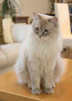 """Quin"": Kevin & Yuri & # s Luchs Blue-Point Mitted Ragdoll - Katzen - Cats Ragdoll Cat Breed, Birman Cat, Pretty Cats, Beautiful Cats, Cute Cats And Kittens, Kittens Cutest, Neva Masquarade, Tier Fotos, Siamese Cats"