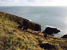 Ponies on the Pembrokeshire Coast Path