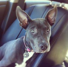 #puppy, #pitbull...looks like Bax