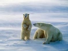 77 Polar Bears Wallpapers Wallpapers available. Share Polar Bears Wallpapers with your friends. Submit more Polar Bears Wallpapers Smile Pictures, Bear Pictures, Smile Pics, Polar Bear Facts, Polar Bears, Polar Bear Wallpaper, Planeta Animal, Photo Ours, Racing Extinction