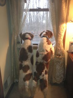 Watching for Chipmunks. Brittany Spaniels