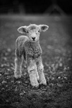 Baby Lamb by luz