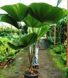 Licuala grandis, the Ruffled Fan Palm, Vanuatu Fan Palm or Palas Palm is a speci. - Licuala grandis, the Ruffled Fan Palm, Vanuatu Fan Palm or Palas Palm is a species of palm tree in - Palm Trees Landscaping, Tropical Landscaping, Backyard Landscaping, Unusual Plants, Exotic Plants, Tropical Plants, Tropical Garden Design, Tropical Backyard, Outdoor Plants
