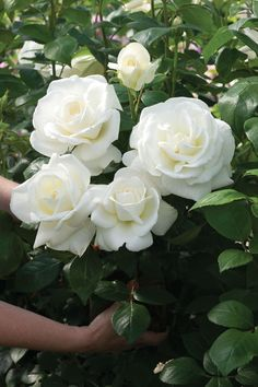 Sugar Moon rose...hybrid tea rose that glows like moonlight, with an intense, heavenly fragrance