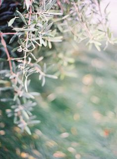 olive branches & green grass | greens