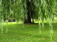 Weeping Willow Tree Photography Tree Art by WindDancePhotography