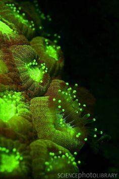 ) fluorescing green under blue light in the dark. Photographed at Tondoba Bay, Marsa Alam, Red Sea, Egypt. Medusa, Hard Coral, Deep Sea Creatures, Science Photos, Deep Blue Sea, Water Life, Ocean Life, Marine Life, Under The Sea