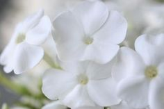 White Phlox Photographic Print by Anna Miller at Art.com