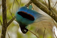 Blue Bird-of-paradise (Paradisaea rudolphi)