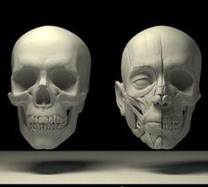 The head structure, Tai ji Facial Anatomy, Skull Anatomy, Head Anatomy, Human Anatomy Drawing, Human Body Anatomy, Muscle Anatomy, Anatomy Study, Anatomy Art, Anatomy Reference