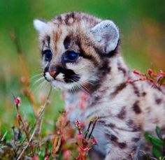 Cougar cub | CAGEY COUGARS | Pinterest | Cubs