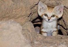 【画像】岩陰に身を潜めていたスナネコの子猫を激写してみた