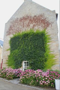 Ivy on wall, lots of flowers