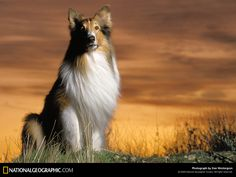According to writer Nigel Clarke, the original Lassie was a rough-haired crossbreed who saved the life of a sailor during World War I.