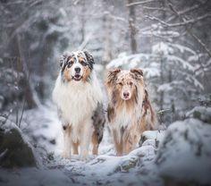 """Se psy podle Veroniky 🐾 na Instagrame: """"Akim&Merlin 💙.  Jak se jmenuje váš pes a jak jste toto jméno vybrali❓ Většina z mých kamarádů jsou pejskaři, sociální sítě mám také plné…"""" Aussie Dogs, Australian Shepherd, Merlin, Veronica, House, Animals, Instagram, Aussie Shepherd, Animales"""