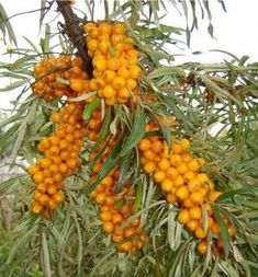 Sea buckthorn is a perennial shrub. It is hardy in zones 3 to The plant prefers light, sandy soil. Sea buckthorn will grow best in full sun, as it needs a lot of energy to produce a large crop of berries. It cannot tolerate shade at any stage of growth. Sea Berries, Berry Plants, Permaculture Design, Permaculture Garden, Forest Garden, Pitaya, Exotic Fruit, Plant Sale, Edible Garden