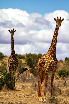 Giraffs on an African Safari! Want to go on your own Safari Adventure? Check out our Early-Bird Special to Thula Thula Game Reserve in South Africa! https://caring.leadpages.net/ecosafari-adg/