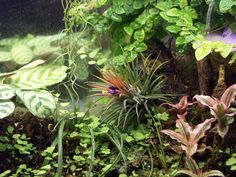 tillandsia (airplant) in a paludarium--- I have four different types of airplants already... woot woot!